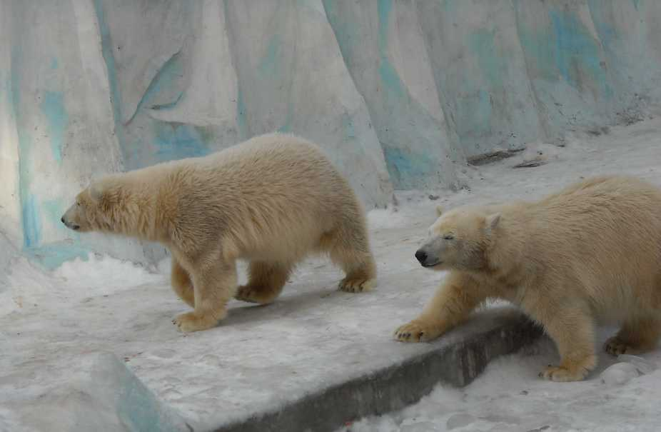 Белый медведь - Ursus maritimus  (фото 116)