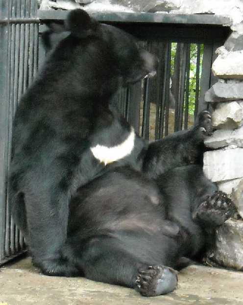 Уссурийский белогрудый медведь - Ursus thibetanus ussuricus  (фото 118)