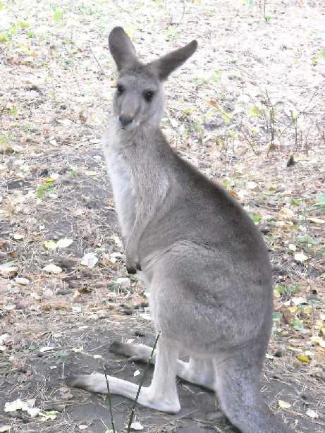 Большой серый кенгуру - Macropus giganteus  (фото 119)