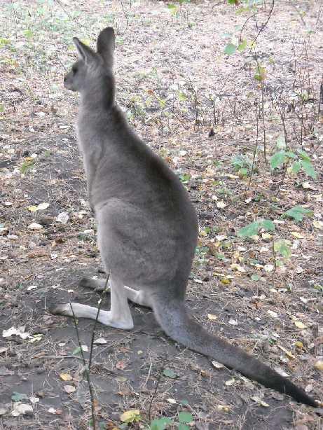 Большой серый кенгуру - Macropus giganteus  (фото 120)