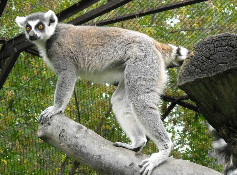 Кошачий лемур - Lemur catta  (фото 168)