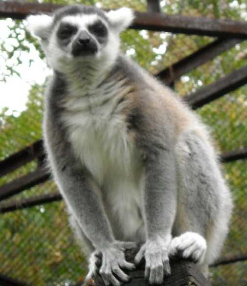 Кошачий лемур - Lemur catta  (фото 169)