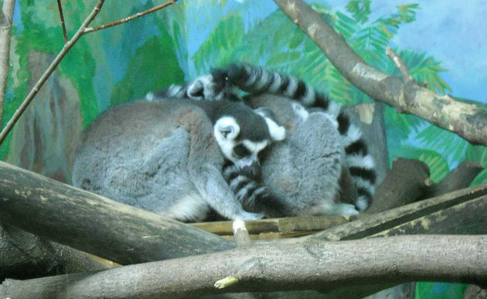 Кошачий лемур - Lemur catta  (фото 170)