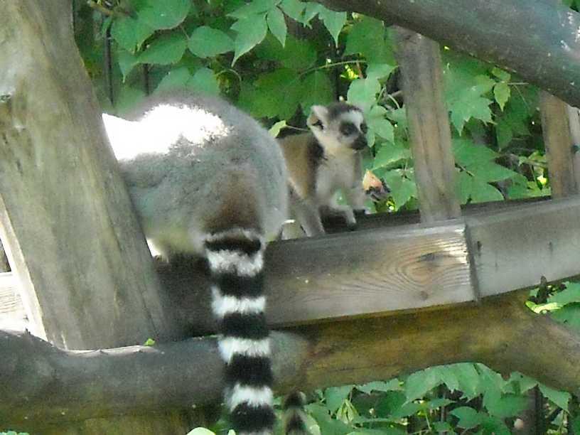 Кошачий лемур - Lemur catta  (фото 173)