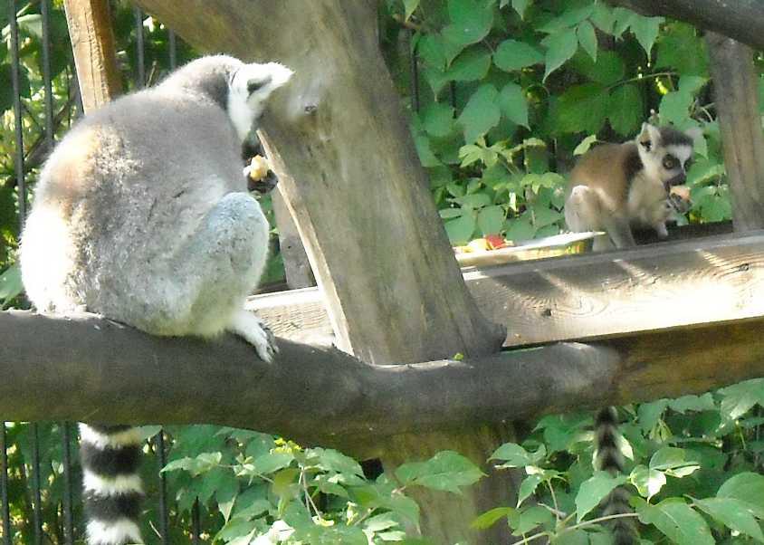Кошачий лемур - Lemur catta  (фото 174)