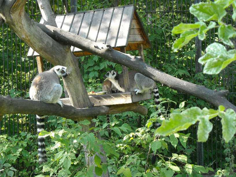 Кошачий лемур - Lemur catta  (фото 175)