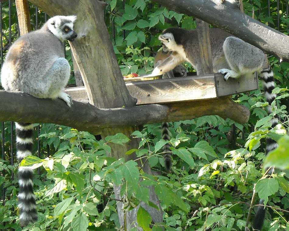 Кошачий лемур - Lemur catta  (фото 176)