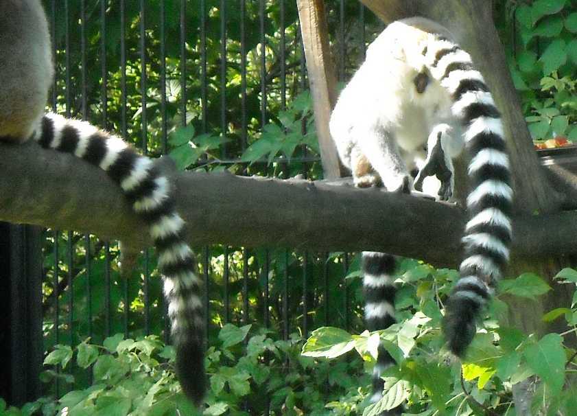 Кошачий лемур - Lemur catta  (фото 177)