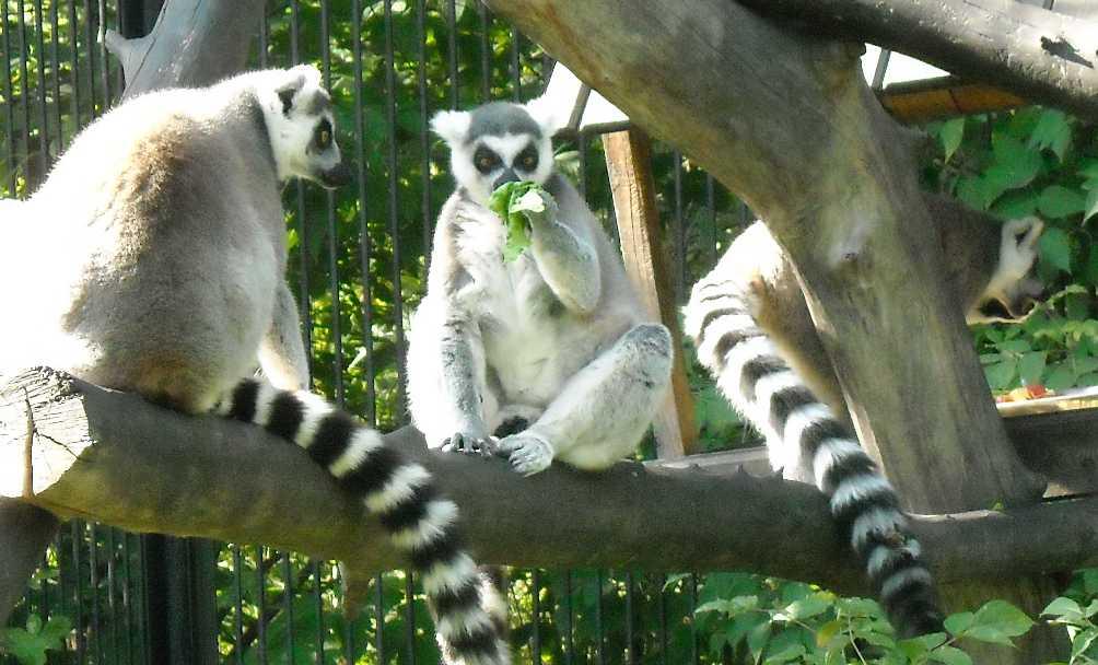 Кошачий лемур - Lemur catta  (фото 178)