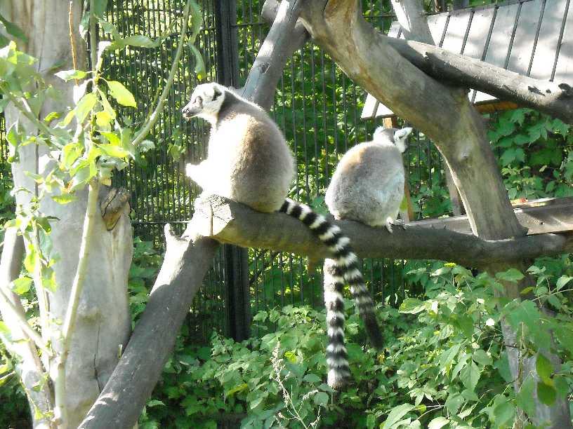 Кошачий лемур - Lemur catta  (фото 179)
