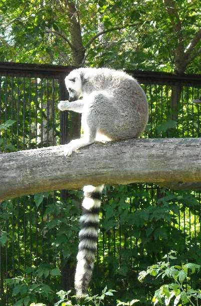 Кошачий лемур - Lemur catta  (фото 180)