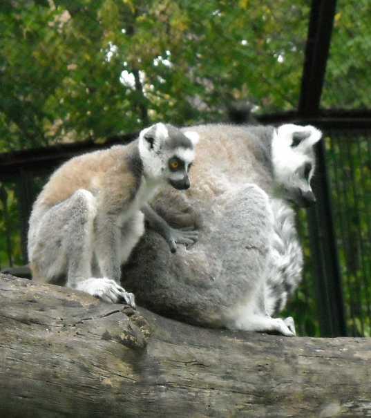Кошачий лемур - Lemur catta  (фото 183)