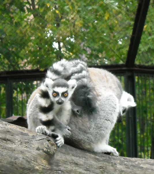 Кошачий лемур - Lemur catta  (фото 184)