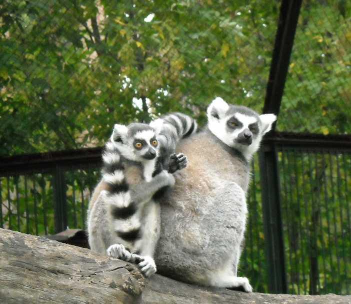 Кошачий лемур - Lemur catta  (фото 185)