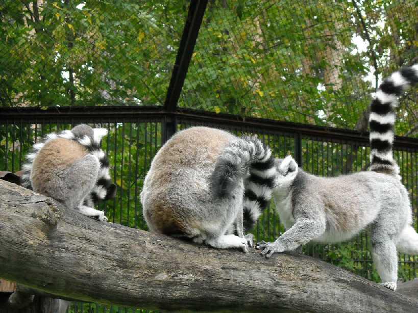 Кошачий лемур - Lemur catta  (фото 186)