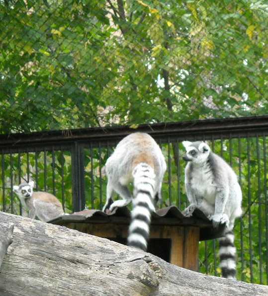 Кошачий лемур - Lemur catta  (фото 187)