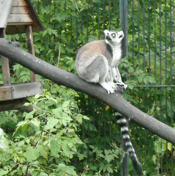 Кошачий лемур - Lemur catta  (фото 188)