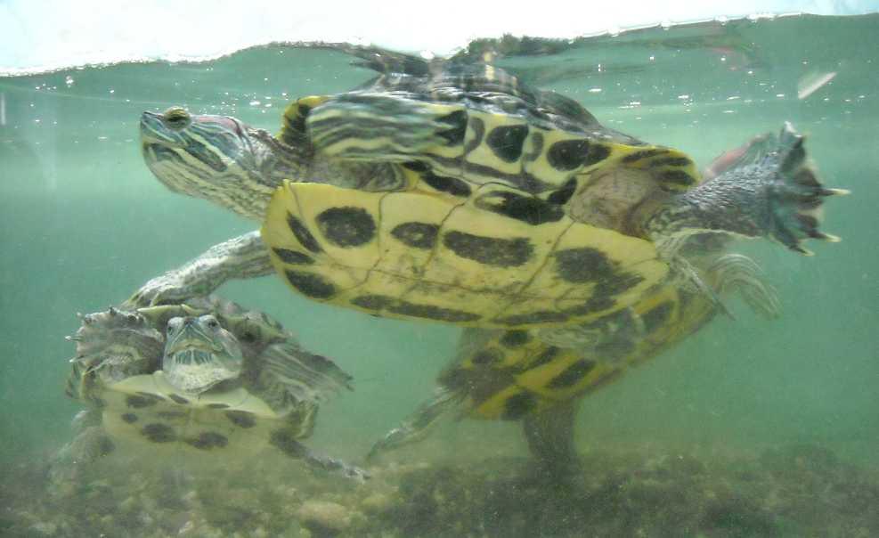 Красноухая черепаха - Pseudemys scripta elegans  (фото 203)