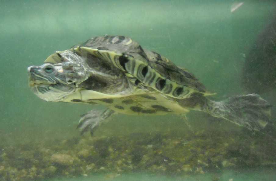 Красноухая черепаха - Pseudemys scripta elegans  (фото 204)