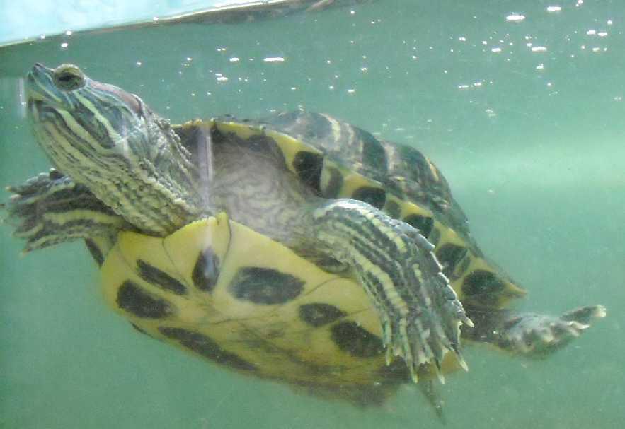 Красноухая черепаха - Pseudemys scripta elegans  (фото 205)