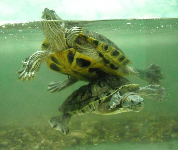 Красноухая черепаха - Pseudemys scripta elegans  (фото 206)