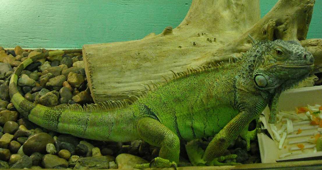 Обыкновенная игуана - Iguana iguana  (фото 207)