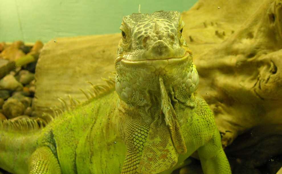 Обыкновенная игуана - Iguana iguana  (фото 208)