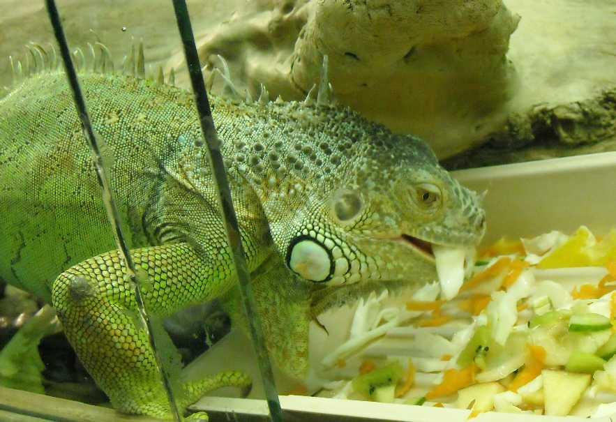 Обыкновенная игуана - Iguana iguana  (фото 209)