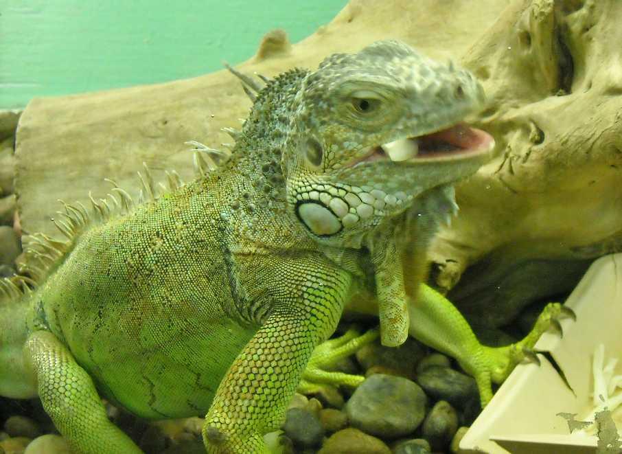 Обыкновенная игуана - Iguana iguana  (фото 210)