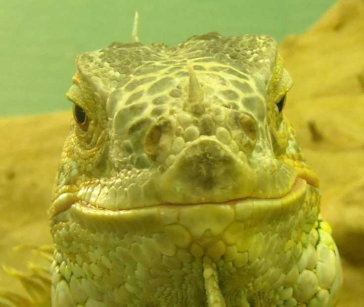 Обыкновенная игуана - Iguana iguana  (фото 211)