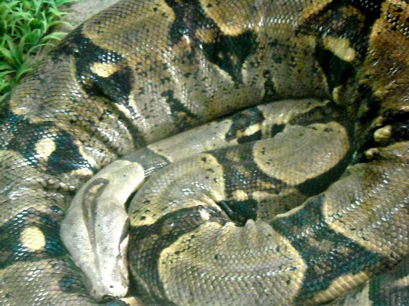 Обыкновенный удав - Boa constrictor  (фото 212)