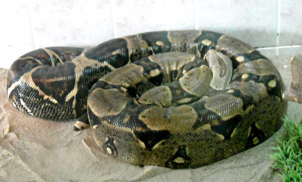 Обыкновенный удав - Boa constrictor  (фото 213)
