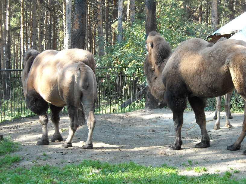 Двугорбый верблюд - Camelus ferus dom.  (фото 219)