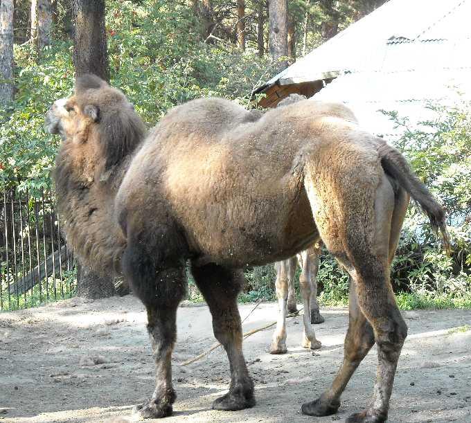 Двугорбый верблюд - Camelus ferus dom.  (фото 220)