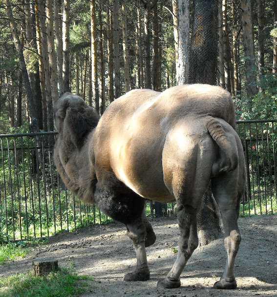 Двугорбый верблюд - Camelus ferus dom.  (фото 221)