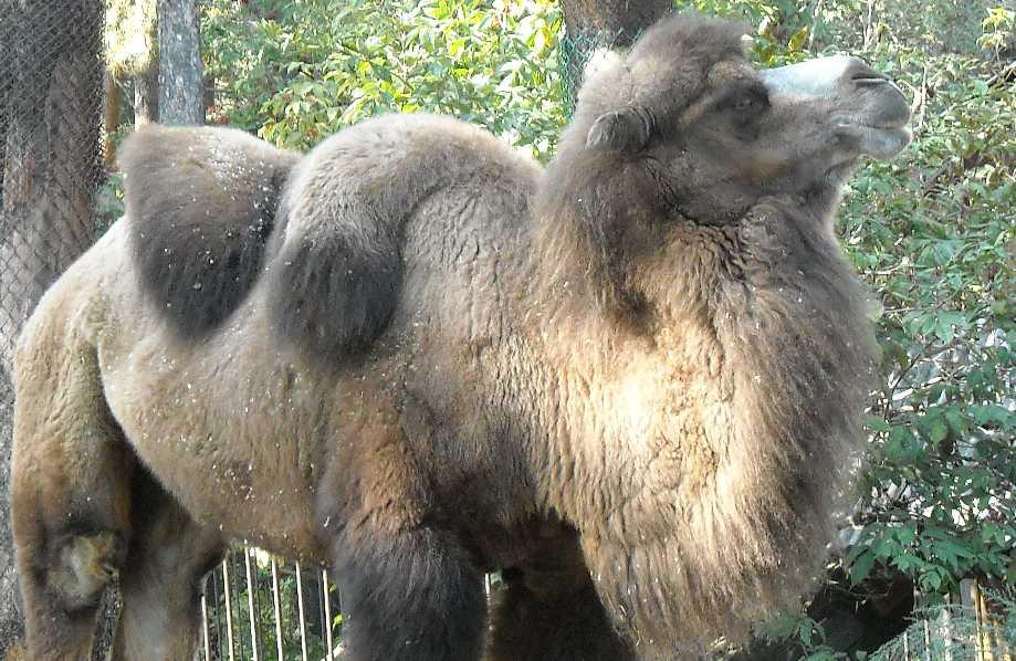Двугорбый верблюд - Camelus ferus dom.  (фото 225)