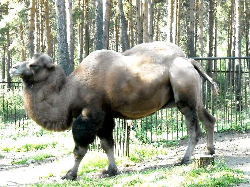 Двугорбый верблюд - Camelus ferus dom.  (фото 226)