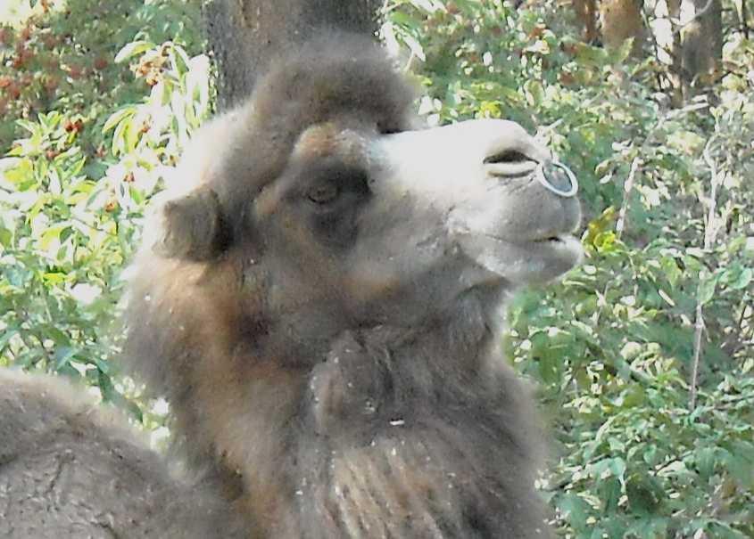 Двугорбый верблюд - Camelus ferus dom.  (фото 227)
