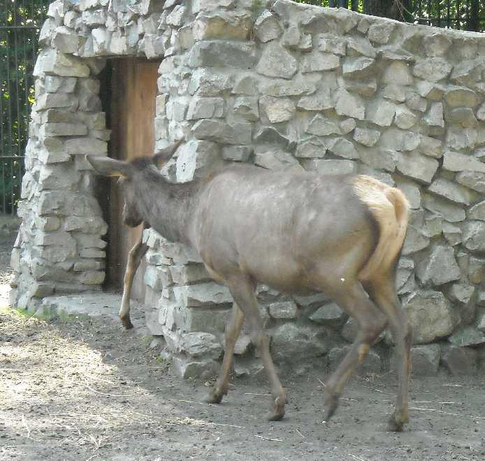 Марал алтайский - Cervus elaphus sibiricus  (фото 234)