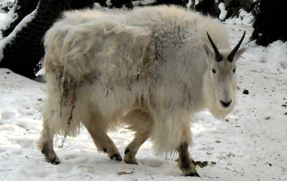 Снежная коза - Oreamnos americanus  (фото 247)