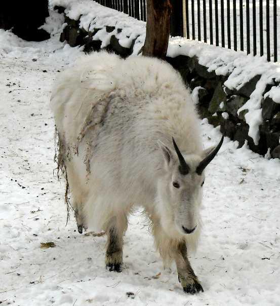 Снежная коза - Oreamnos americanus  (фото 248)
