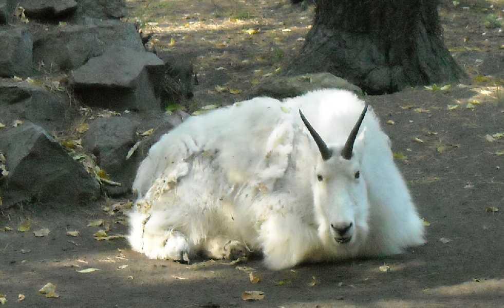 Снежная коза - Oreamnos americanus  (фото 249)