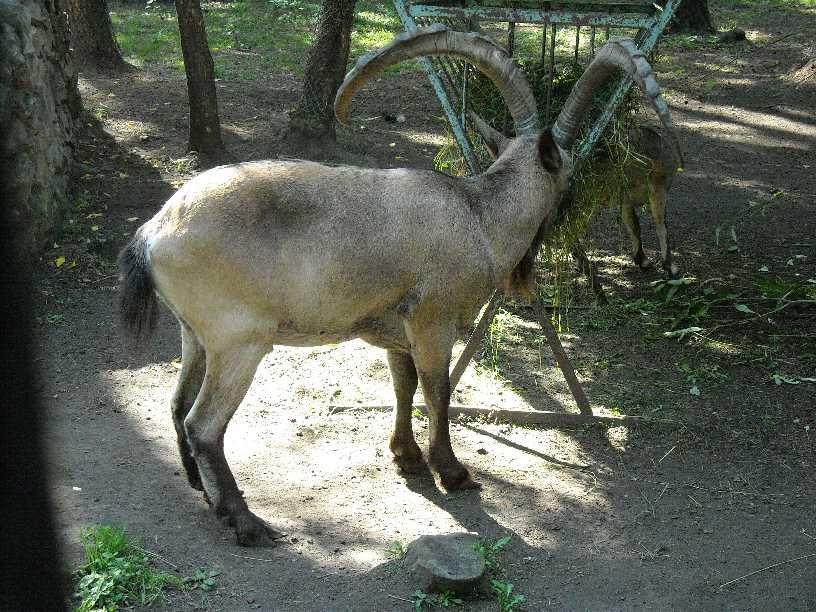 Сибирский горный козел - Capra ibex sibirica  (фото 252)