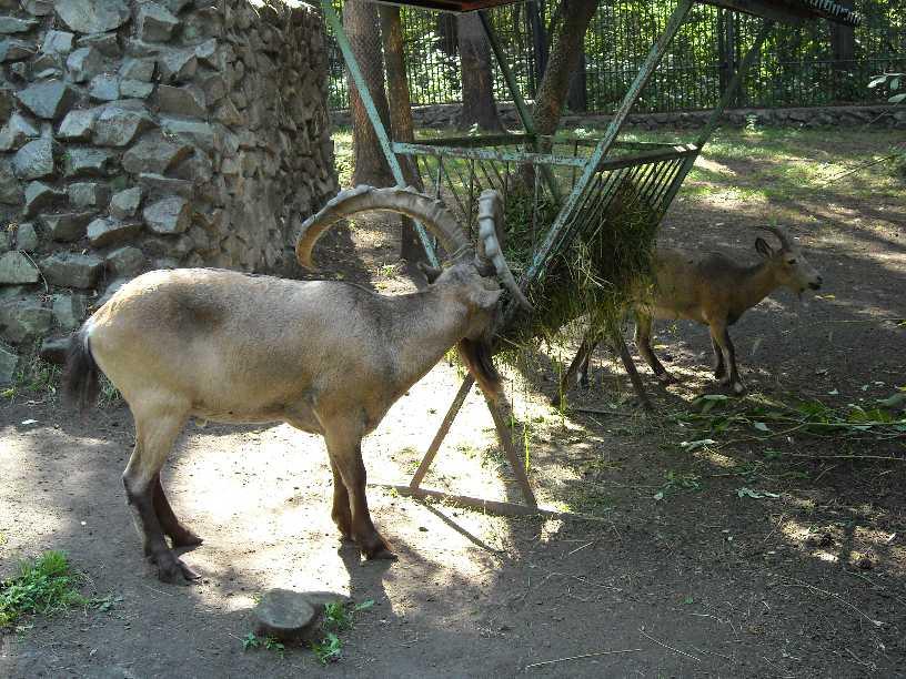 Сибирский горный козел - Capra ibex sibirica  (фото 253)