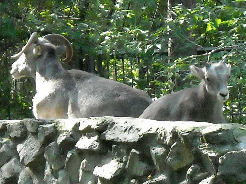 Сибирский горный козел - Capra ibex sibirica  (фото 254)