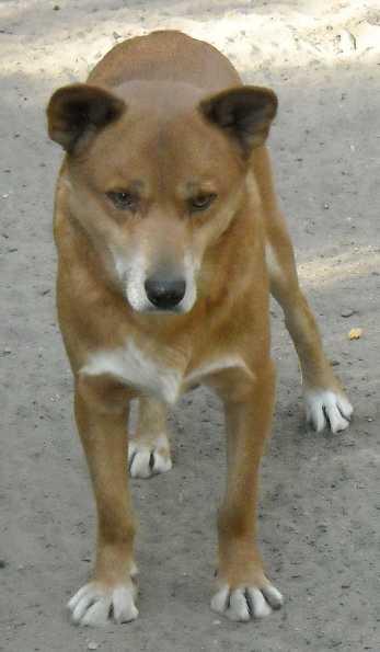 Австралийский динго - Canis familiaris dingo  (фото 256)