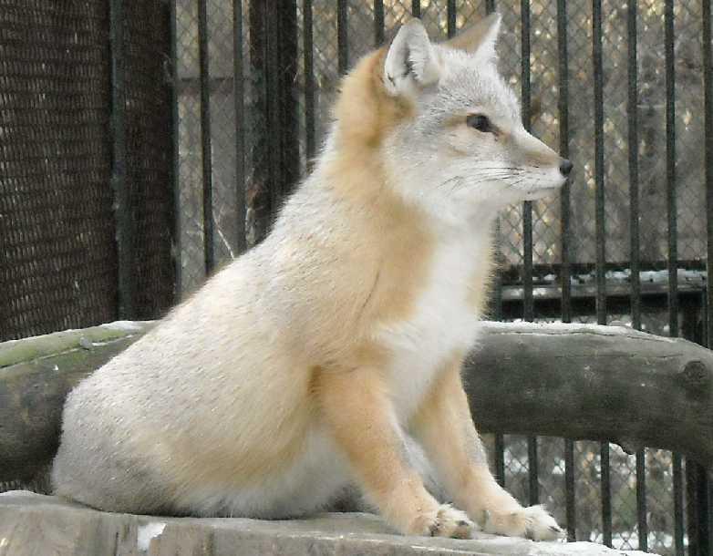 Обыкновенная лисица - Vulpes vulpes vulpes  (фото 258)