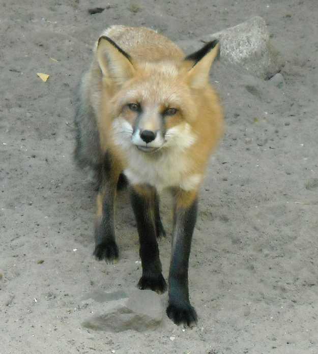 Обыкновенная лисица - Vulpes vulpes vulpes  (фото 262)