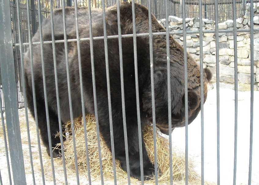 Бурый медведь - Ursus arctos  (фото 263)