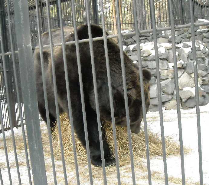 Бурый медведь - Ursus arctos  (фото 264)